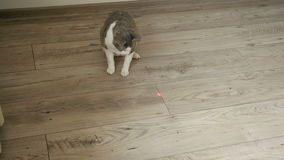 Cat playing with laser pointer on the wooden floor stock footage