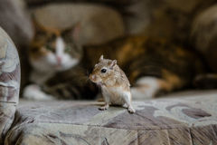 Cat playing with little gerbil mouse. Natural light. Royalty Free Stock Photo