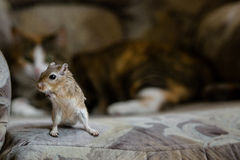 Cat playing with little gerbil mouse. Natural light. Stock Photography
