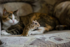 Cat playing with little gerbil mouse. Natural light. Stock Images