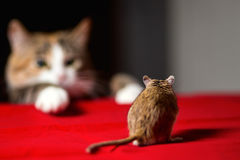 Cat playing with little gerbil mouse on red table Stock Images