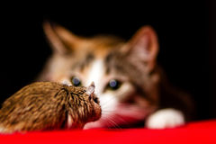 Cat playing with little gerbil mouse on red table Royalty Free Stock Photography