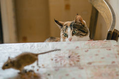 Cat playing with little gerbil mouse on the table. Natural light Royalty Free Stock Photography