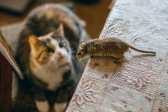 Cat playing with little gerbil mouse on the table. Natural light Stock Image