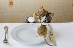 Cat playing with little gerbil mouse on the table with serving cutlery. Concept of prey, food, pest. Royalty Free Stock Images