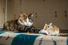 Cat playing with little gerbil mouse on the table  serving cutlery. Concepts of prey, food, pest Royalty Free Stock Photo