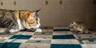 Cat playing with little gerbil mouse on the table  serving cutlery. Concepts of prey, food, pest Royalty Free Stock Image