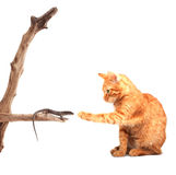 Cat playing with lizard Royalty Free Stock Photos