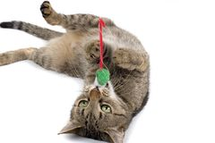 Cat Playing with Mouse Toy. A young cat lays on its back, playing with a green toy mouse in its mouth Royalty Free Stock Image