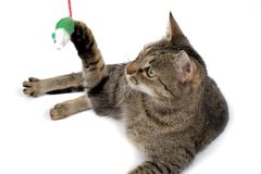 Cat Playing with Mouse Toy. A brown tabby cat playfully swatting a toy mouse.  White background Royalty Free Stock Images