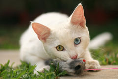 Cat playing with mouse toy. Outdoor portrait of a white cat playing with a grey mouse toy Stock Photo