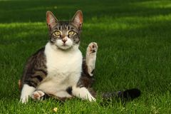Cat Playing Outdoors on the Grass Royalty Free Stock Images