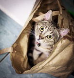 Cat playing in a paper bag Stock Image