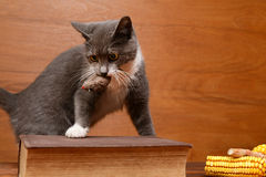 Cat playing with a plush mouse Royalty Free Stock Photos