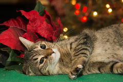 Cat Playing with Poinsettia Stock Photography