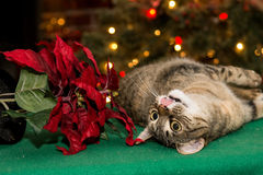 Cat Playing with Poinsettia Stock Photos