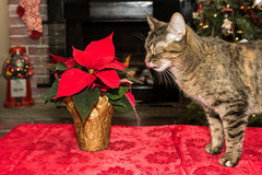 Cat playing with poinsettia. Stock Images