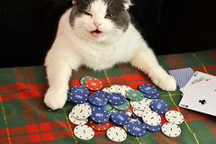 Cat playing poker stock images