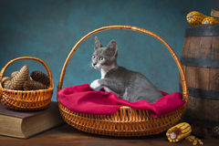 Cat playing and posing in a wicker basket Stock Photography
