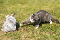 Cat playing with a rabbit. Young cat playing with a domestic rabbit Royalty Free Stock Photos