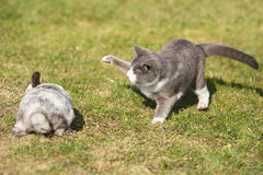 Cat playing with a rabbit stock photography
