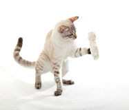 Cat playing with a rabbit paw. Stock Image
