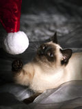 Cat playing with santa hat. A siamese kitten playing with a santa hat on a grey background Royalty Free Stock Photography