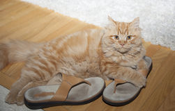 Cat playing with shoes Stock Image