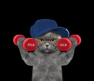 Cat playing sports with dumbbells Stock Image