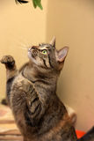 Cat playing. Standing on its hind legs Stock Photos