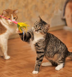 Cat playing. Standing on its hind legs Stock Image