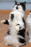 Cat playing while standing on its hind legs, catches Royalty Free Stock Photography
