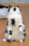 Cat playing while standing on its hind legs, catches Stock Photos