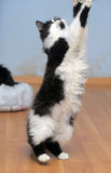 Cat playing while standing on its hind legs, catches Stock Photography