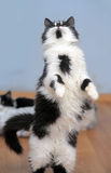 Cat playing while standing on its hind legs, catches Stock Image
