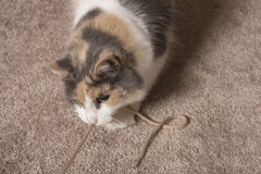 Cat playing with string. An adult domesticated muted calico cat playing with a string stock photo