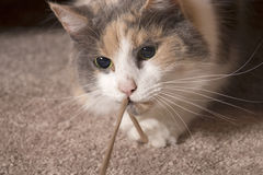 Cat playing with string - closeup. An adult domesticated muted calico cat playing with a string stock photography