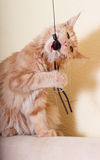 Cat playing toy Stock Images