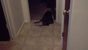 Cat Playing with Toy Mouse stock video