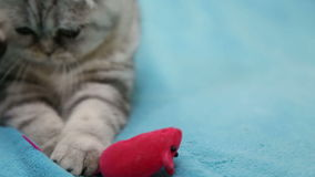 Cat playing with toy mouse. Scottish fold cat playing with toy mouse stock video footage