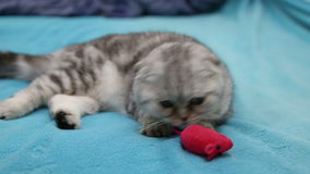 Cat playing with toy mouse. Scottish fold cat playing with toy mouse stock footage
