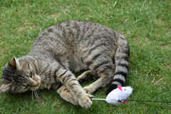 Cat playing with toy Royalty Free Stock Image