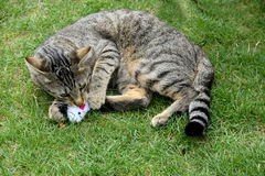 Cat playing with toy Royalty Free Stock Photos