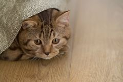 British Shorthair cat playing. Cat playing under the blanket Royalty Free Stock Photo