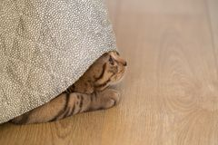 Cat playing at home. Cat playing under the blanket Royalty Free Stock Photos