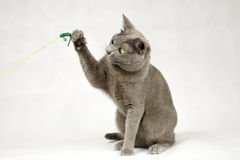 Cat playing on white background stock photography