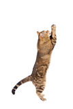 Cat playing on white Royalty Free Stock Photography