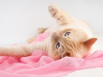 Cat playing, on a wooden background with a pink scarf, concept tenderness, care royalty free stock photos