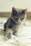 Cat plays on bed. Gray cat with yello eyes plays on bed stock photo