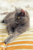 Cat plays on bed. Gray cat with yello eyes plays on bed Stock Photos